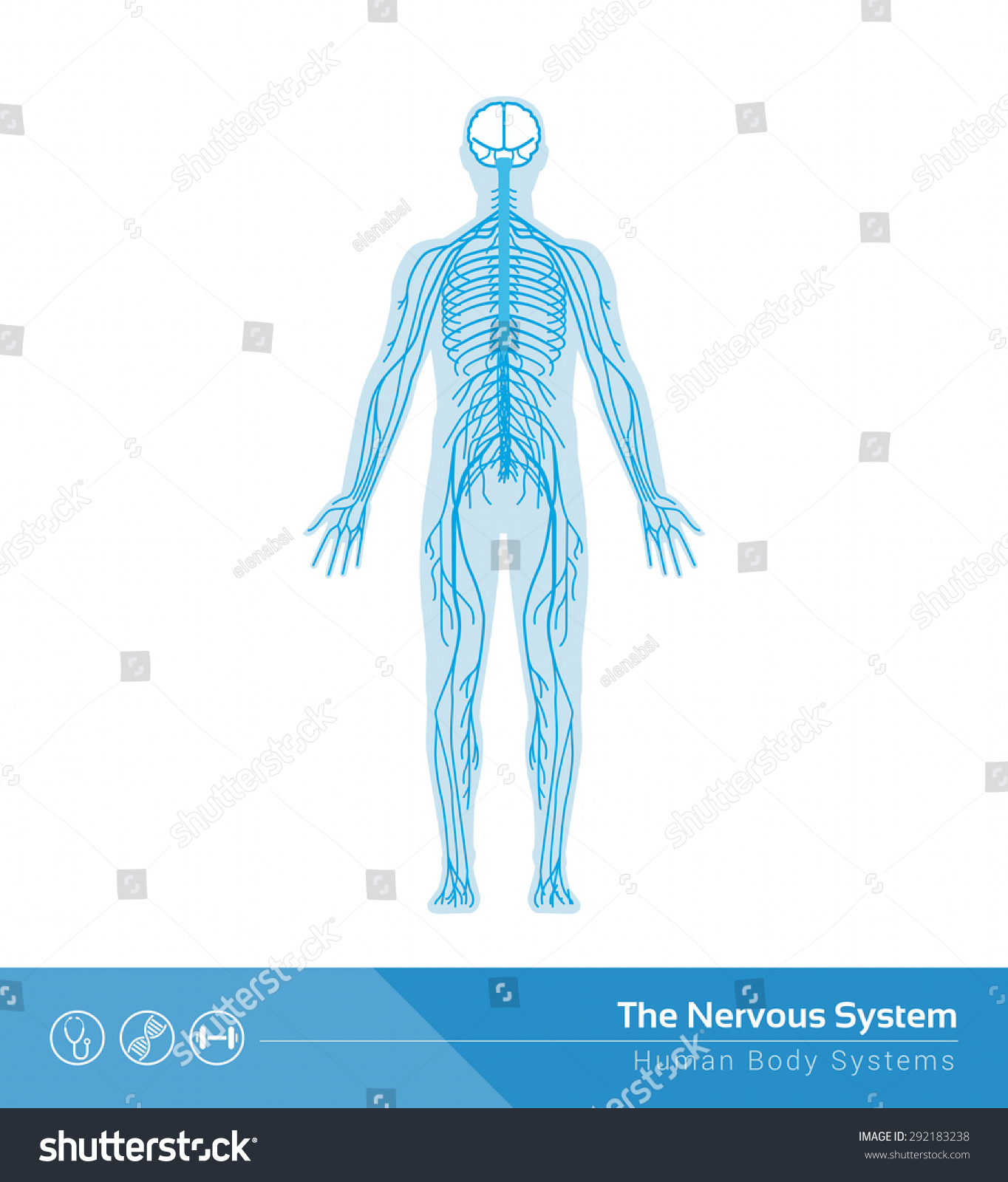 Human Nervous System Vector Medical Illustration Stock Vector