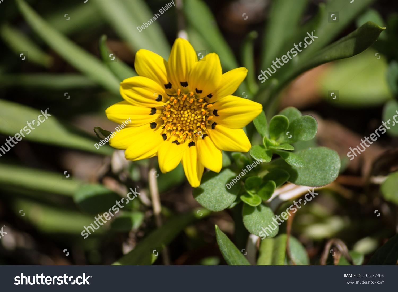 Yellow Daisy Like Flower Ez Canvas