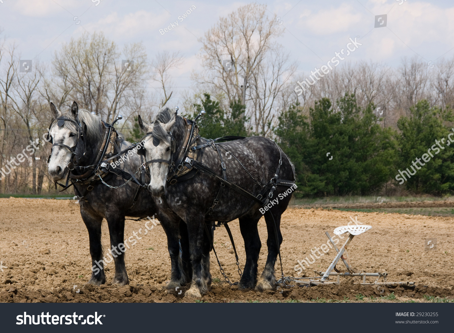 Pair Dapple Gray Draft Horses Hitched Stock Photo Edit Now 29230255