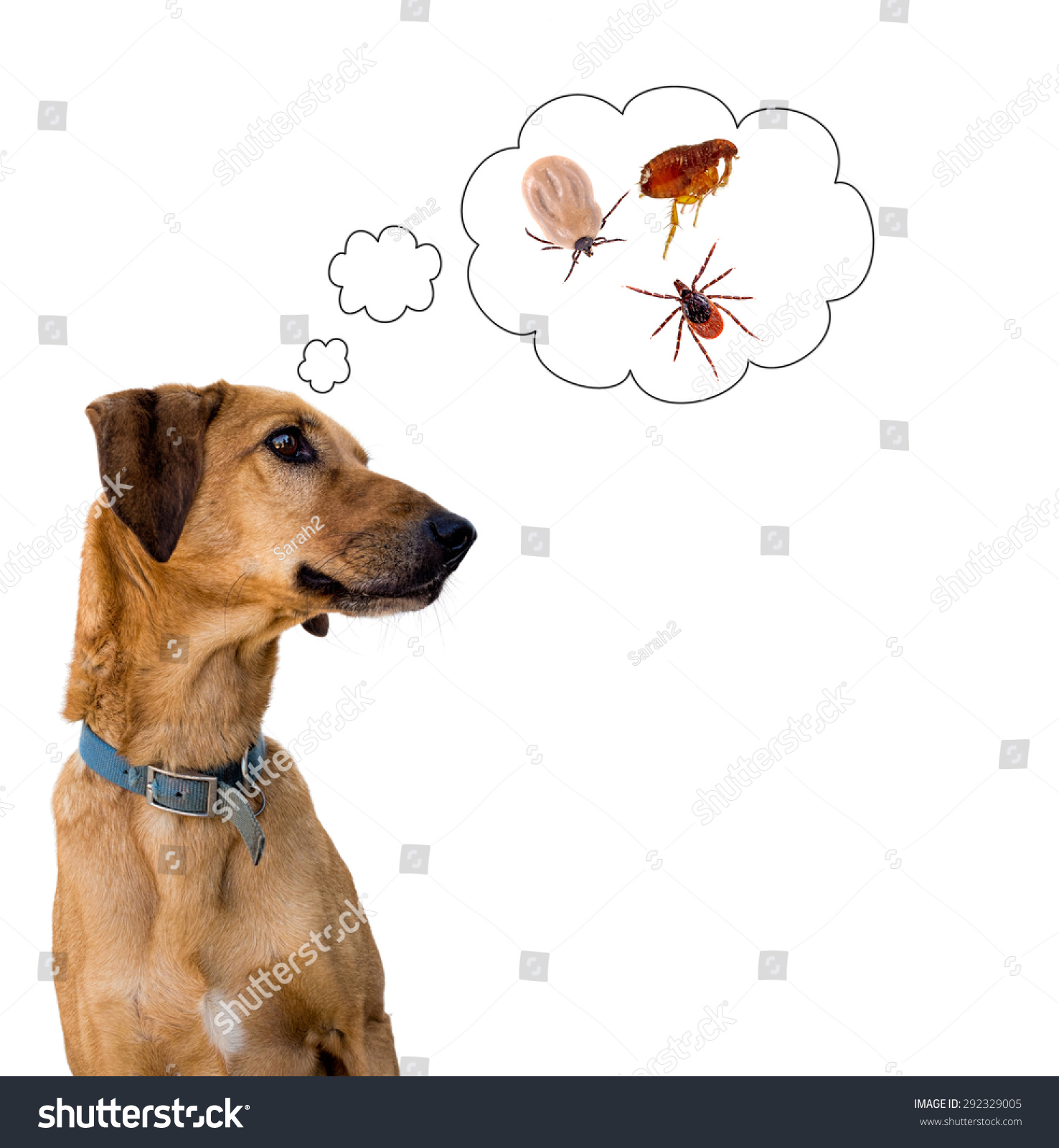 Dog On White Considering Problem Tick Stock Photo 292329005 ...