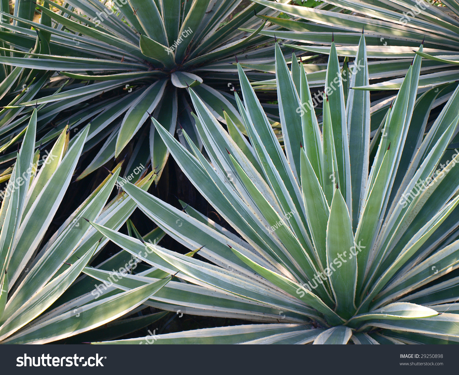 tropical yucca plants stock photo 29250898 shutterstock. Black Bedroom Furniture Sets. Home Design Ideas