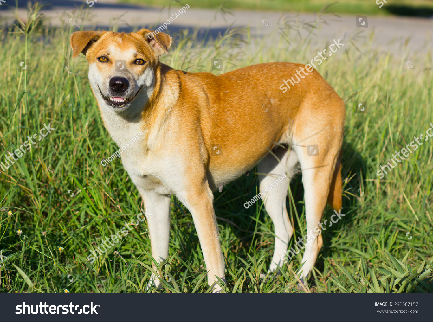 Brown Short Hair Dog Standing Position Stock Photo Edit Now 292567157