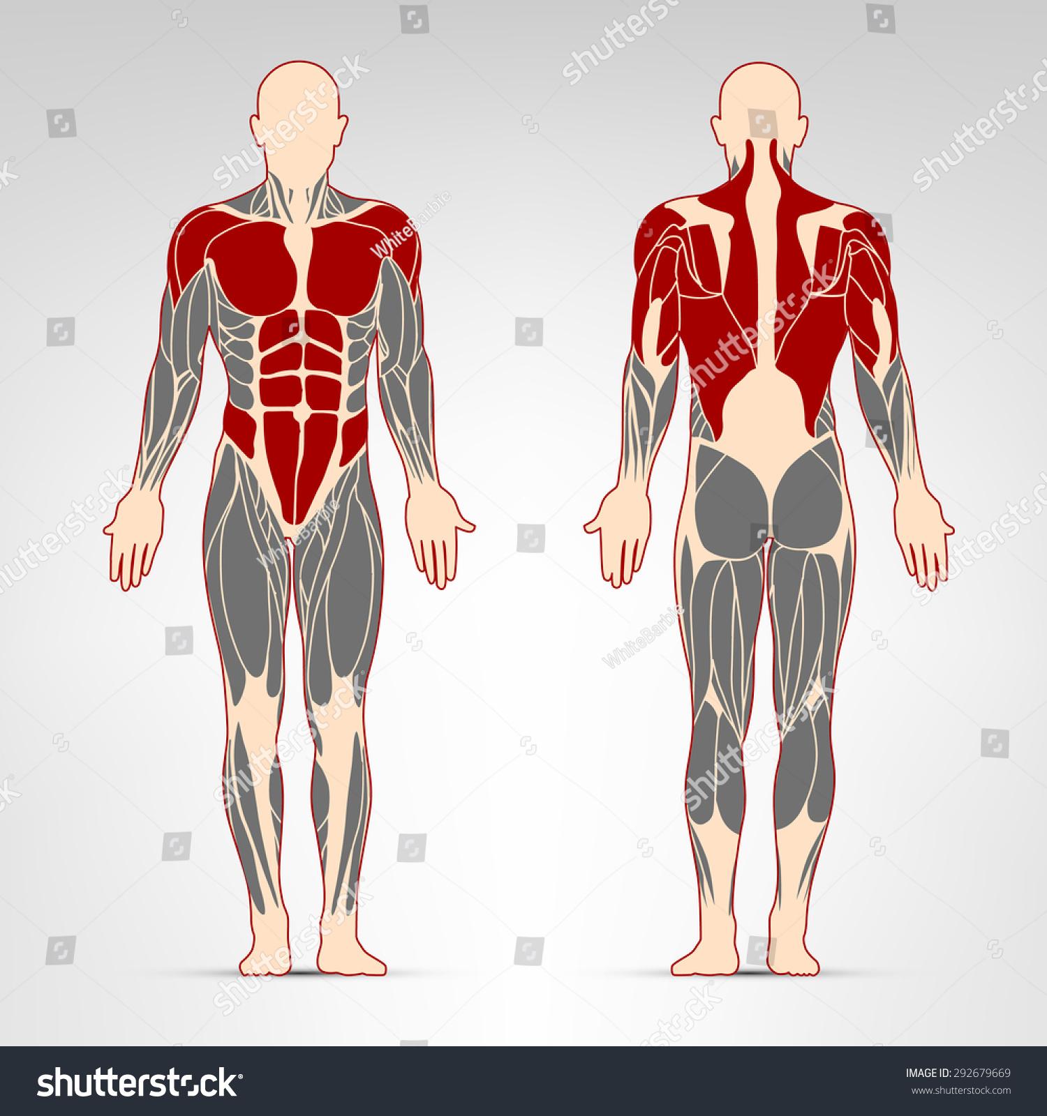 Großartig Oblique Muscles Bilder - Menschliche Anatomie Bilder ...