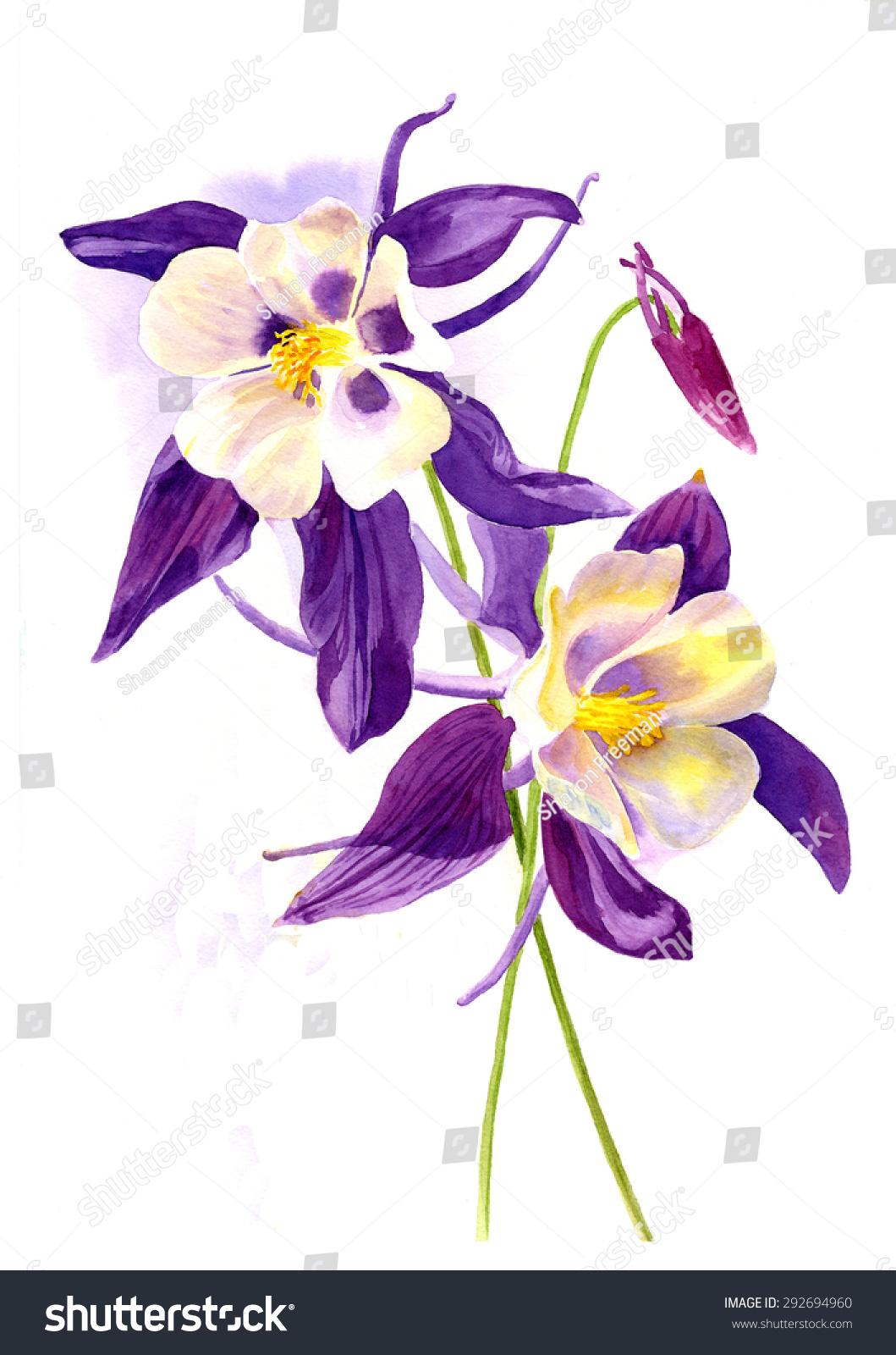 Two Purple Columbine Flowers Watercolor Painting Stock Illustration