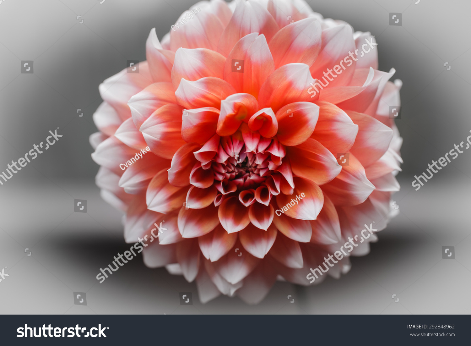 Pink Dahlia Flower Delicate Intricate Petals Stock Photo Edit Now