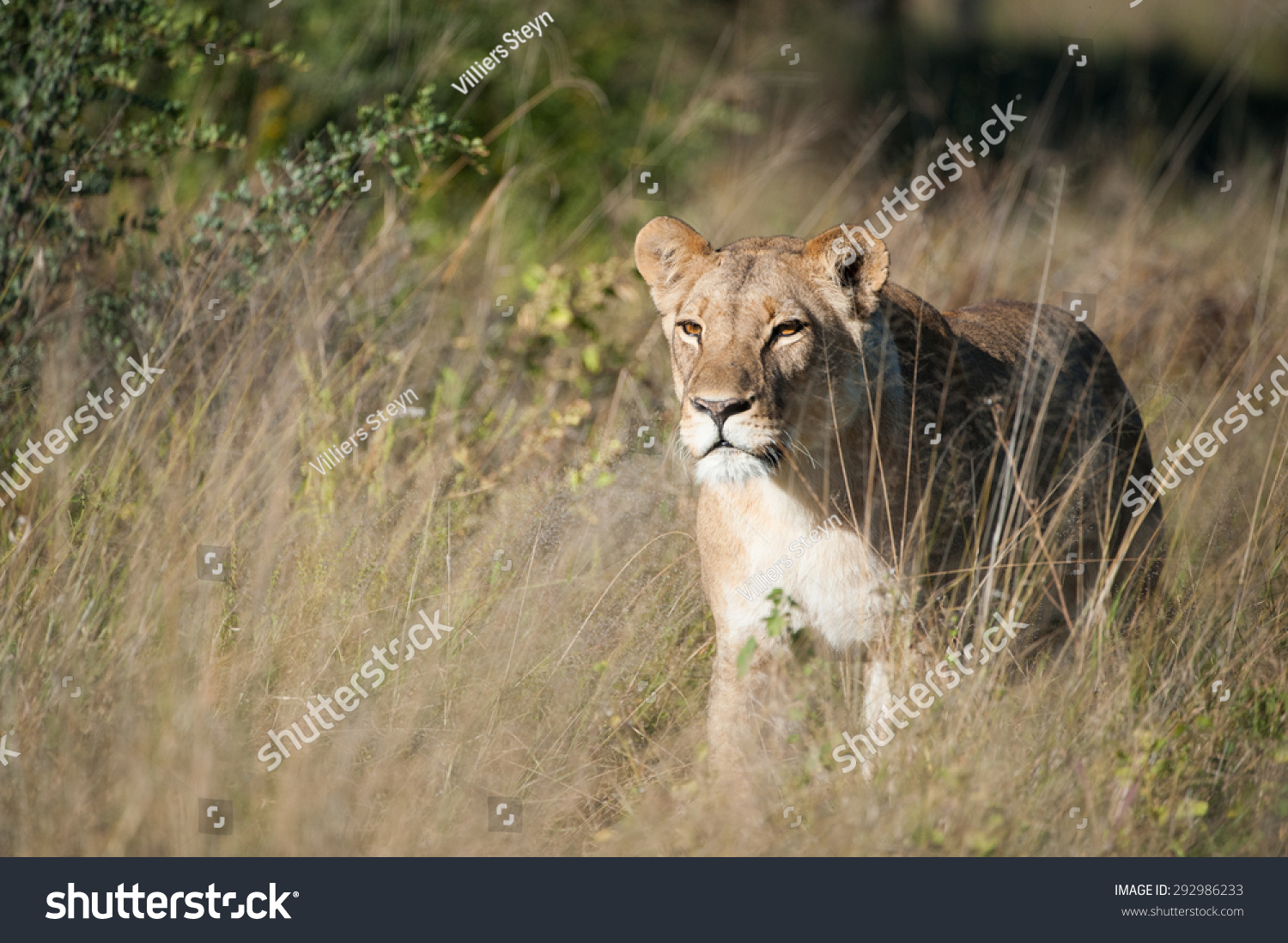 A Horizontal, Colour Image Of A Single Lioness Stalking ...