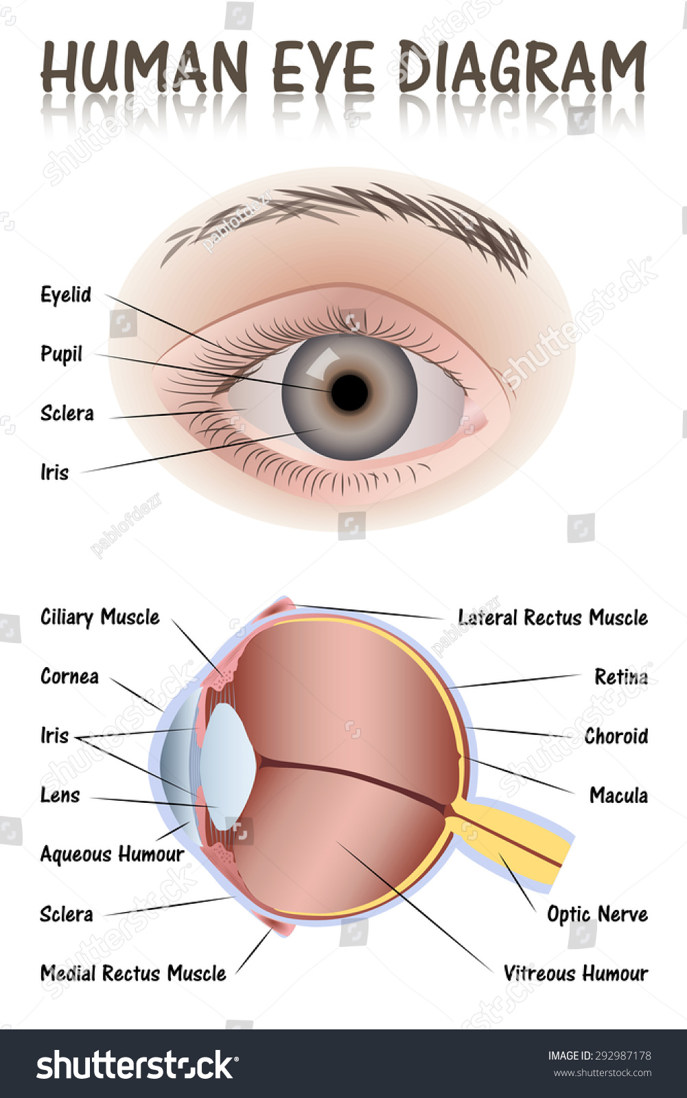 Human eye diagram stock vector 292987178 shutterstock pooptronica Choice Image