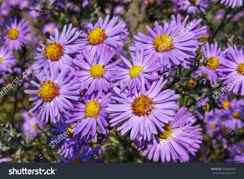 Garden Blue Aster Flowers Autumnal Floral Background Ez Canvas