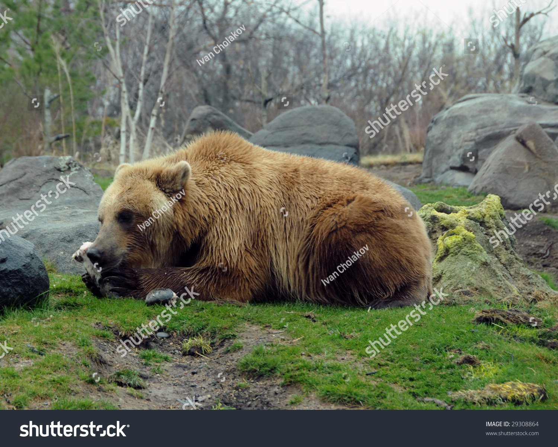 Giant Grizzly Bear Kamchatka Russia Stock Photo 29308864 ...