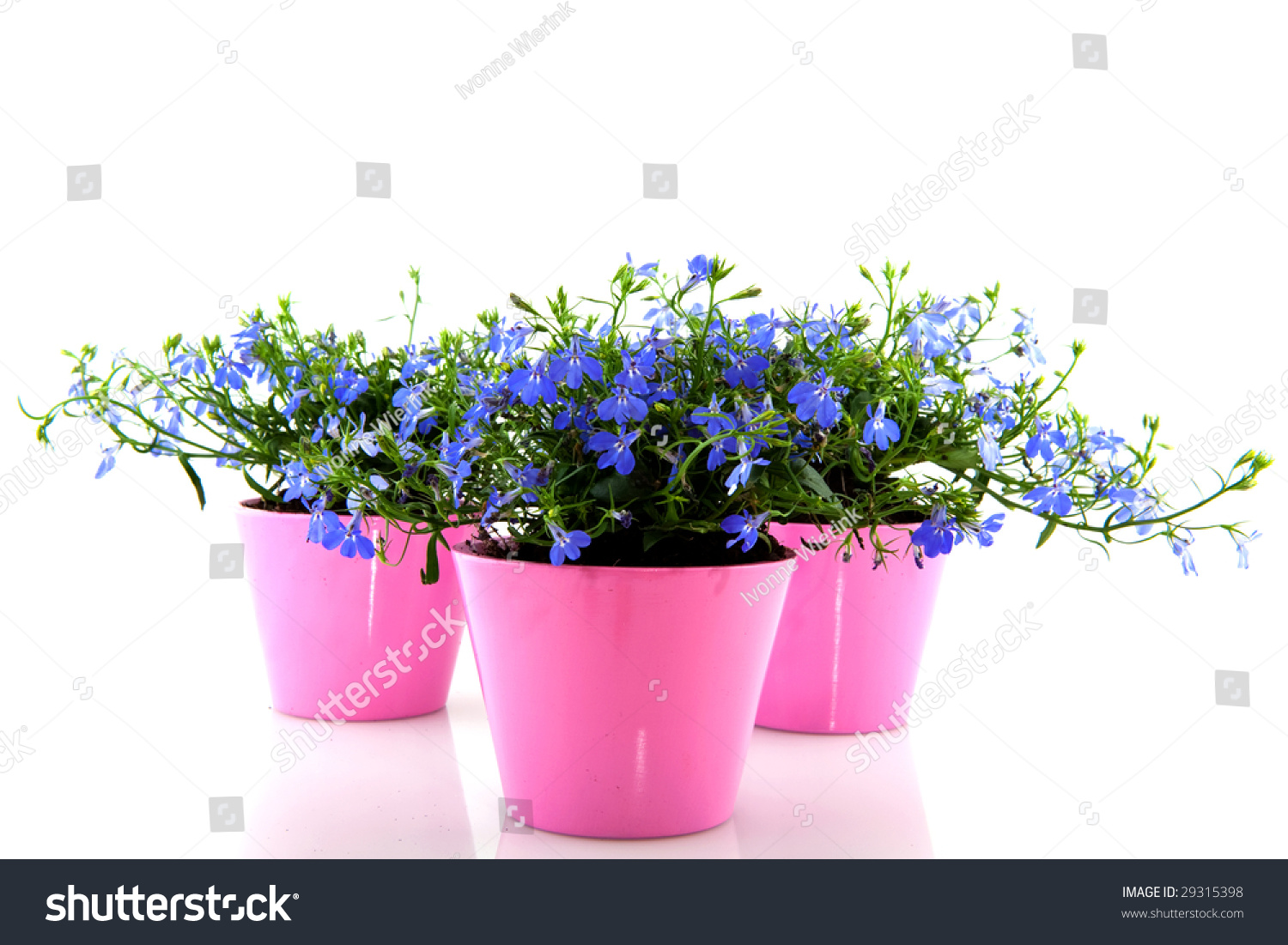 Cheerful Blue Lobelia Pink Flower Pots Stock Photo Royalty Free