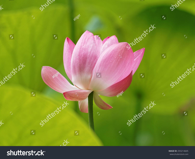 Close Lotus Flower Seedpod Full Bloom Stock Photo Download Now
