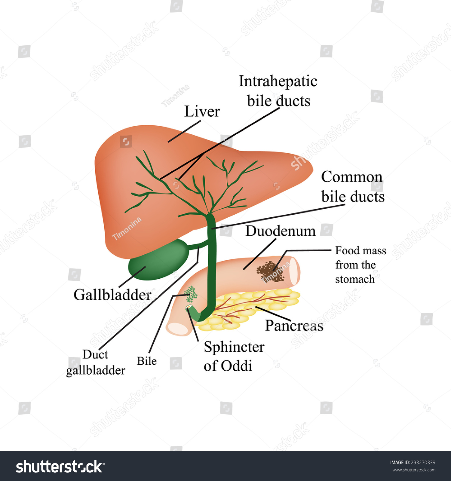 Anatomical Structure Liver Gallbladder Bile Ducts Stock Vector
