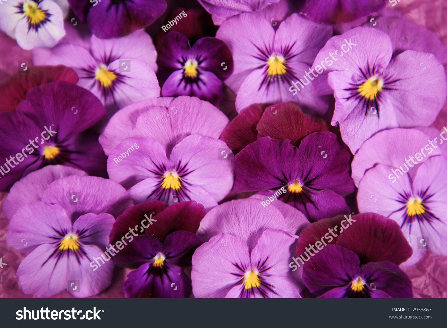 Purple Pink Pansy Flower Background Stock Photo Edit Now 2933867