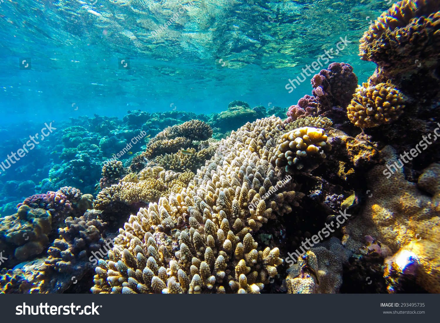 red sea coral reef hard corals stock photo 293495735