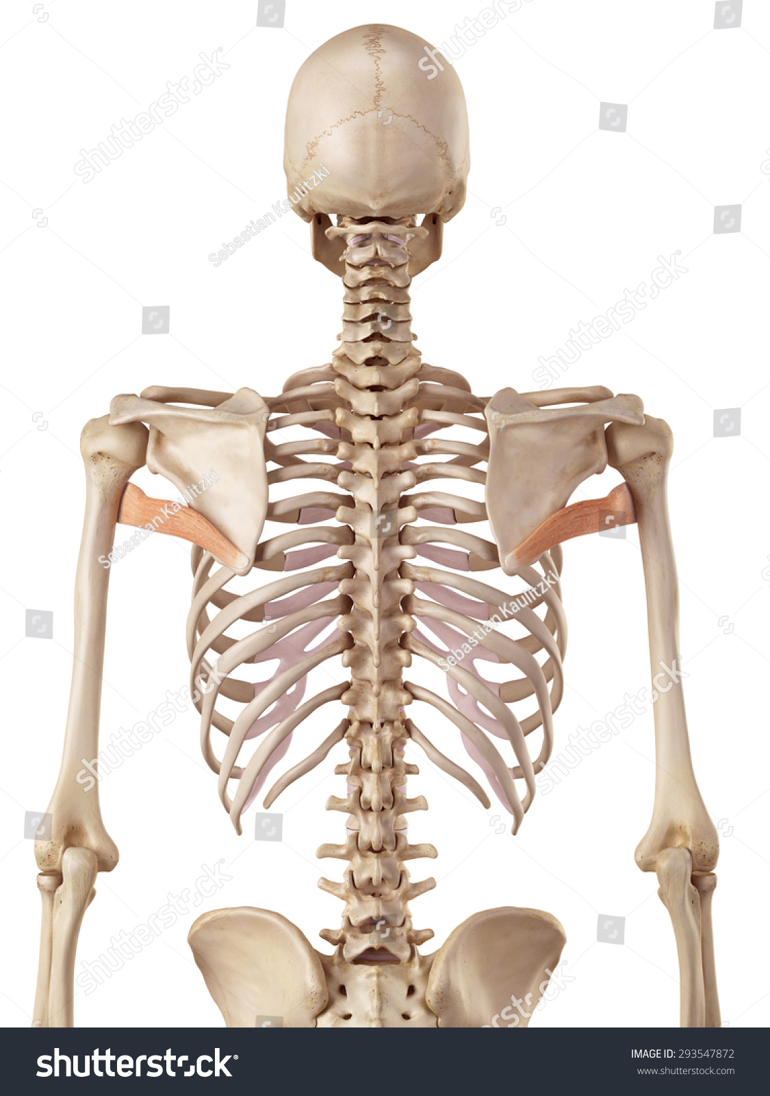 Royalty Free Stock Illustration Of Medical Accurate Illustration