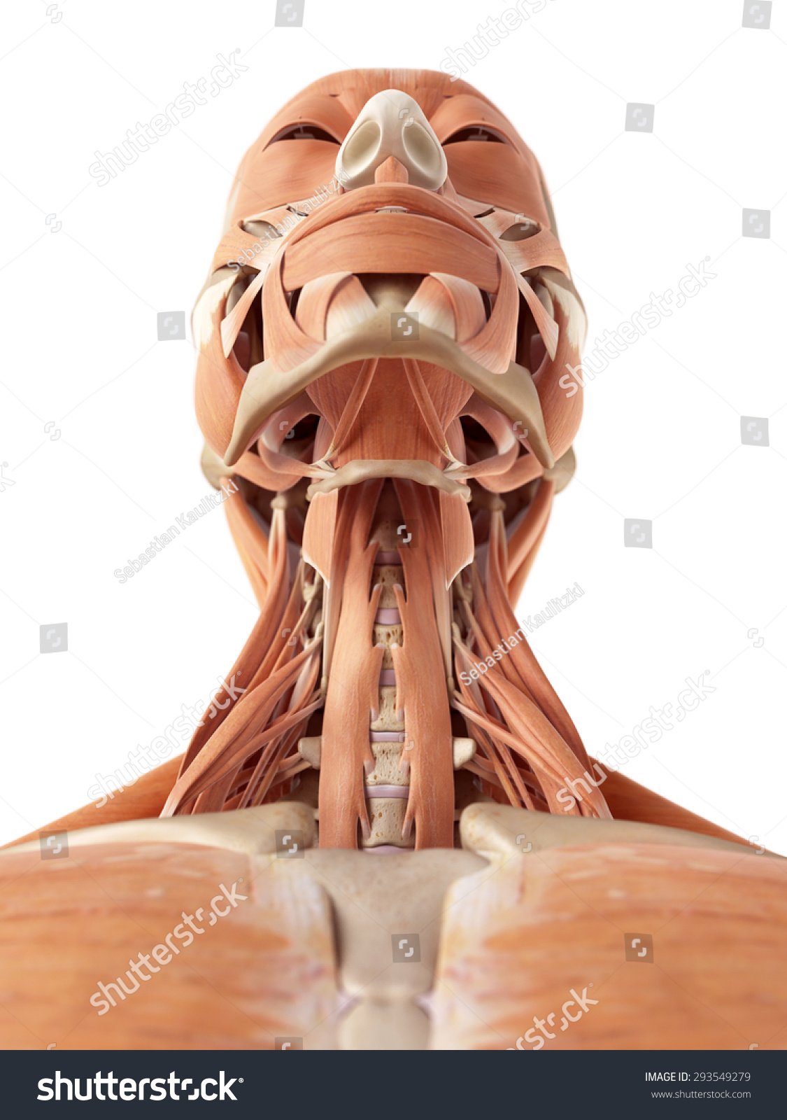 Medical Accurate Illustration Neck Muscles Stock Illustration
