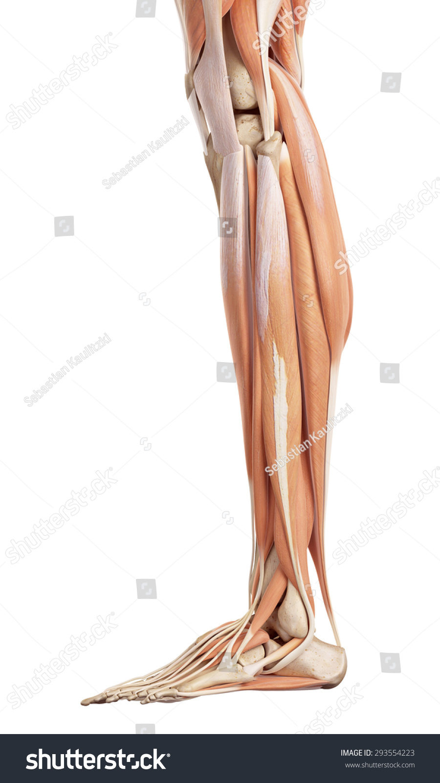 Medical Accurate Illustration Lower Leg Muscles Stock Illustration