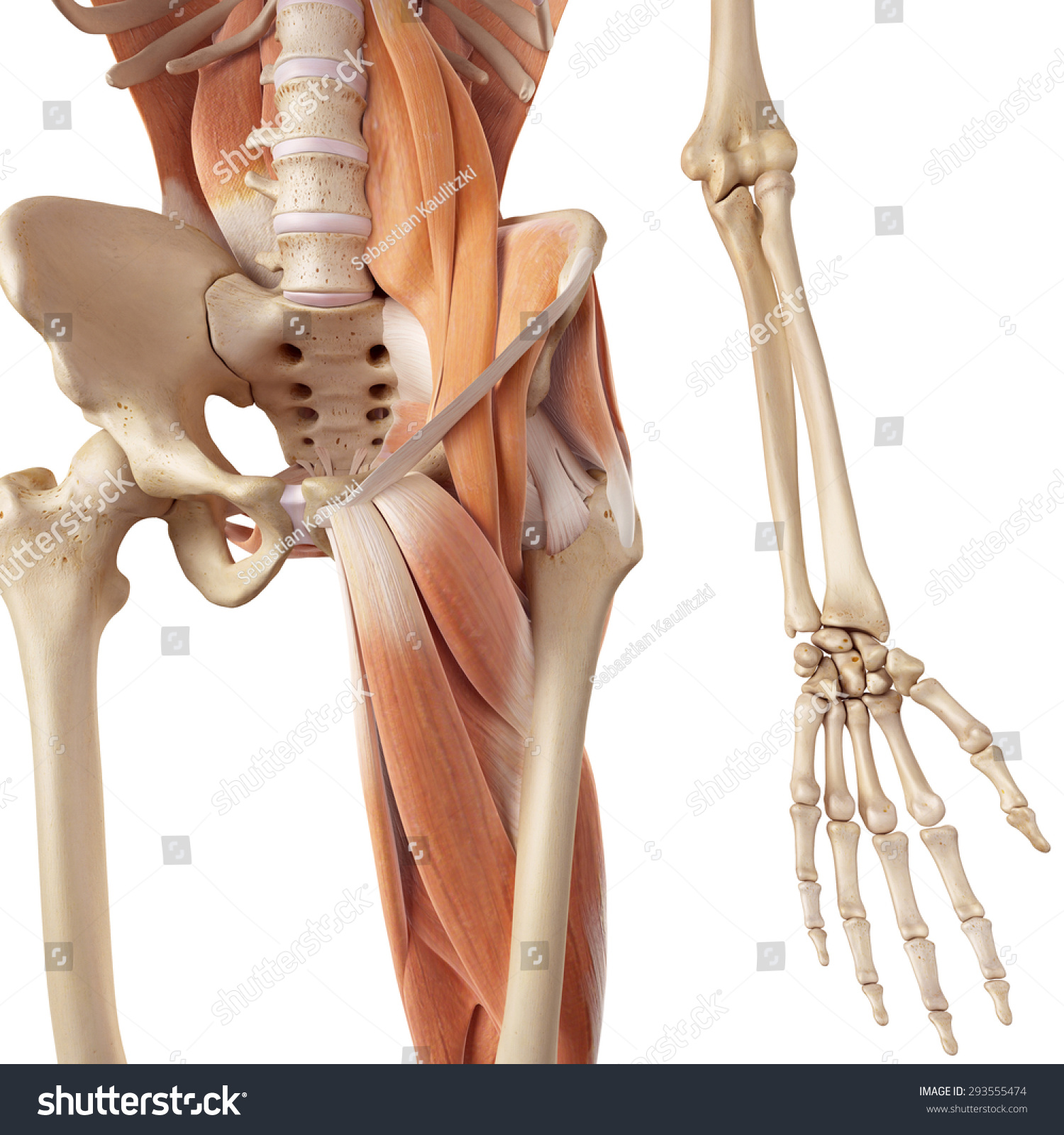 Medical Accurate Illustration Hip Leg Muscles Stock Illustration