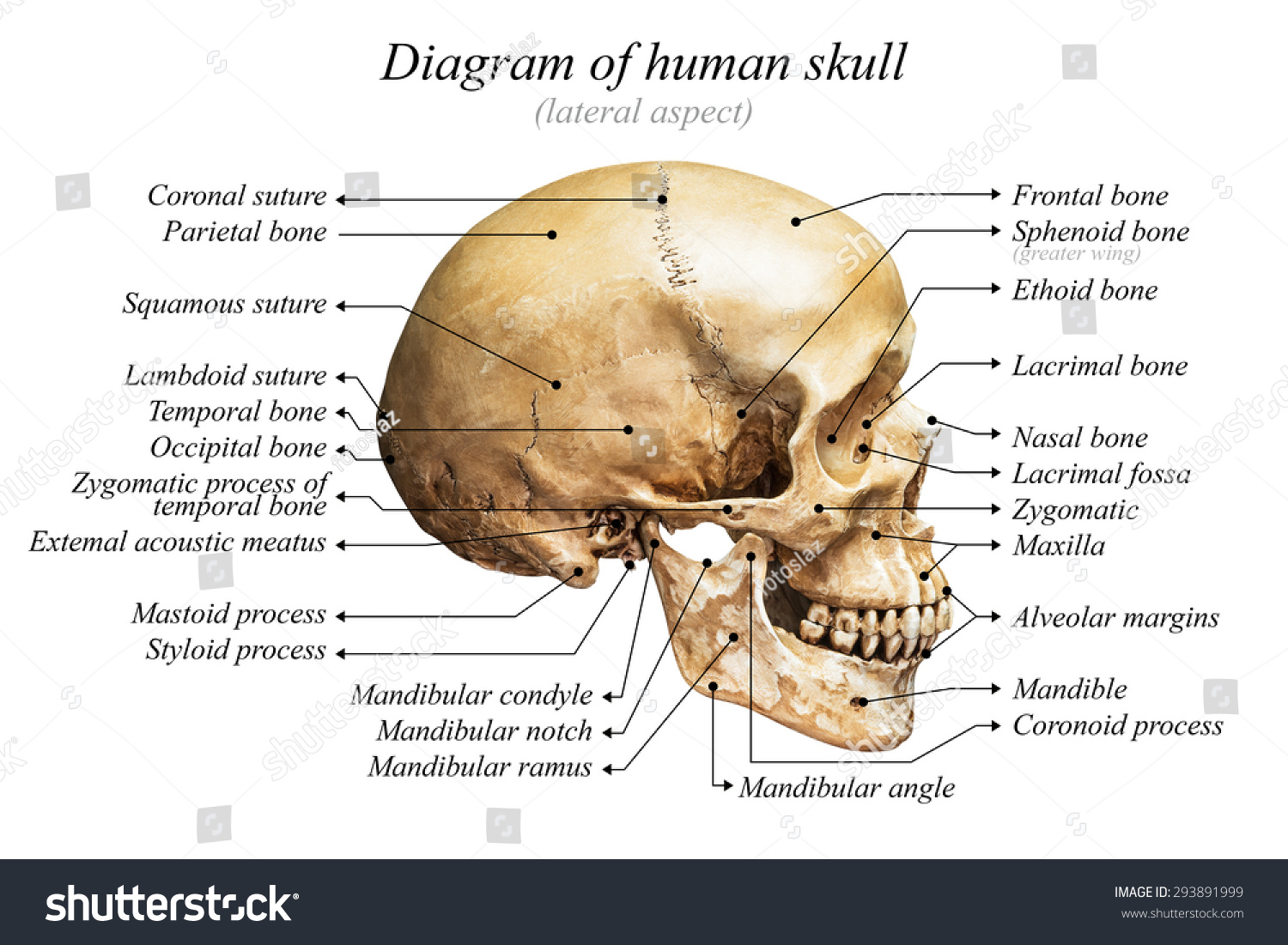 Lateral Aspect Human Skull Diagram On Stock Photo Edit Now