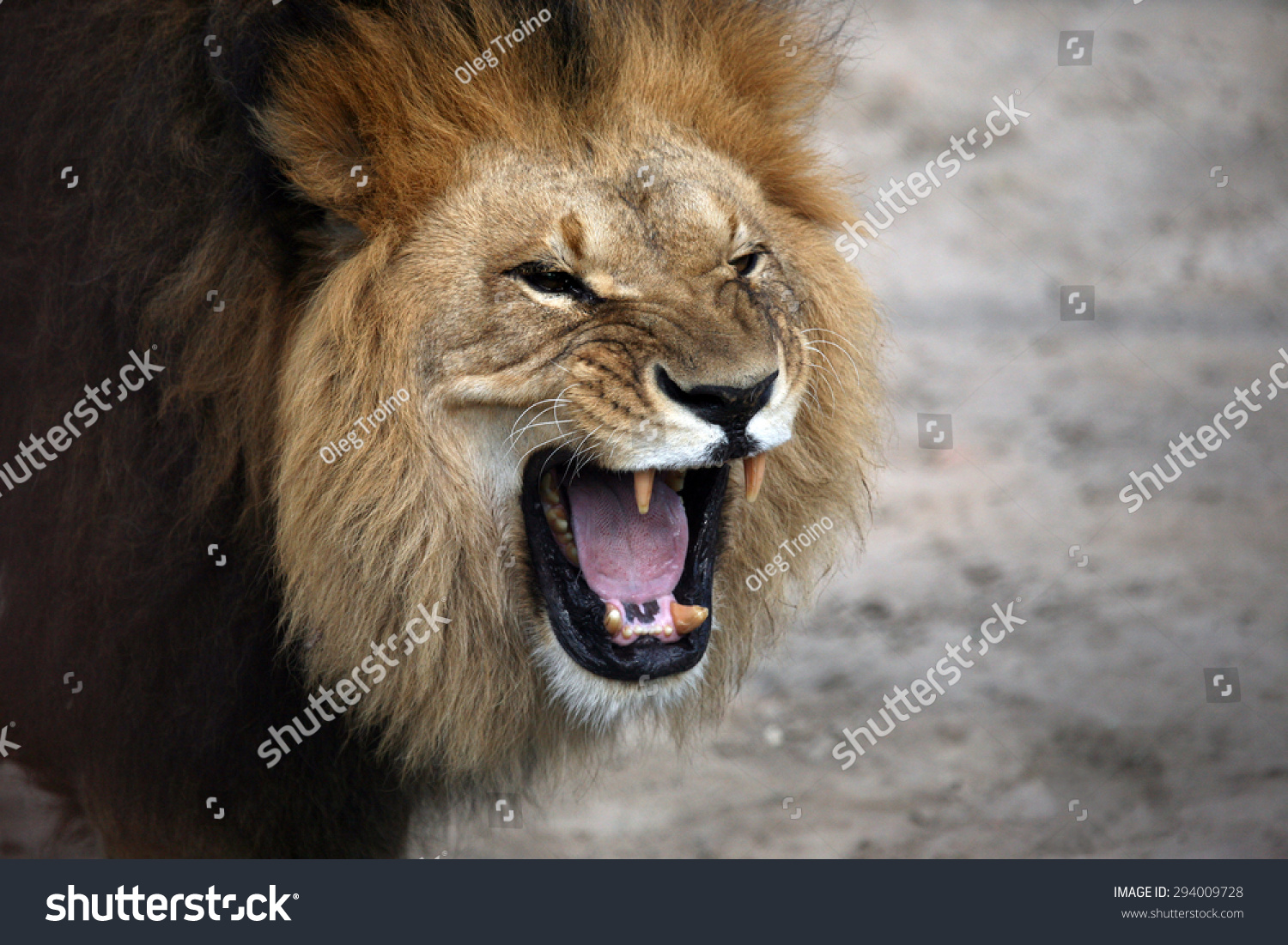portrait of a snarling African lion