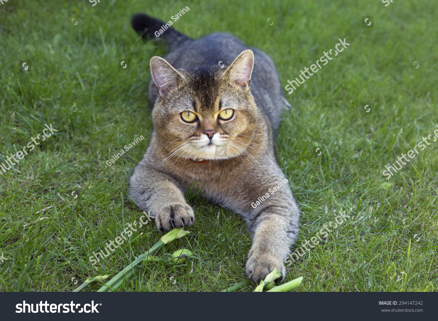Golden Chinchilla cat: description of the breed, character, characteristics of care and maintenance 86