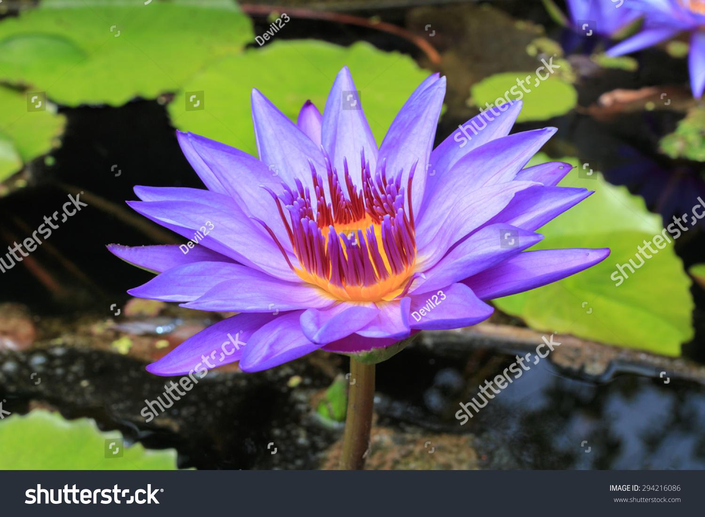 Beautiful Purple Lotus Flower More Colors In The Park Ez Canvas