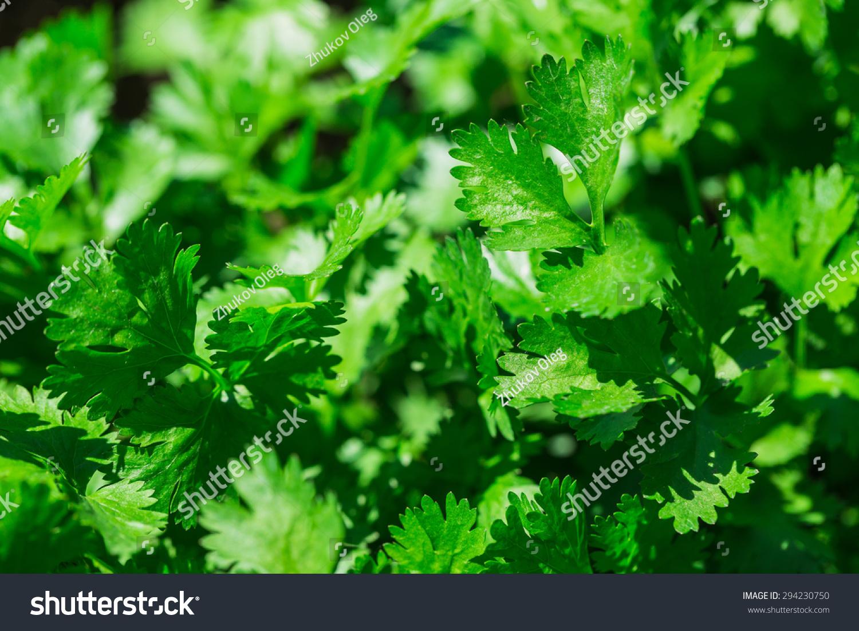 how to grow italian parsley
