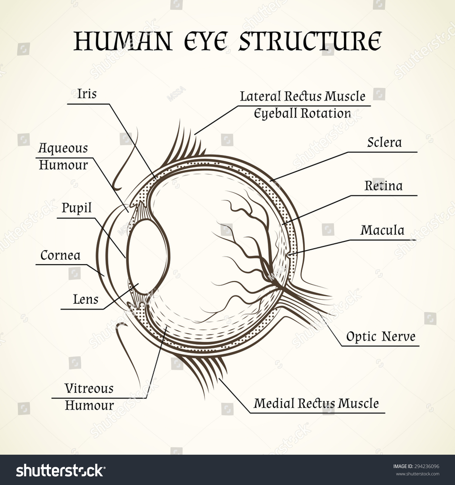 Structure Human Eye Anatomy Medicine Iris Stock Illustration ...