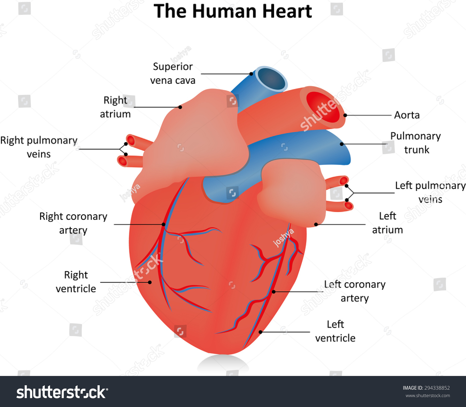 Anatomical Heart Labeled Stock Vector Royalty Free 294338852