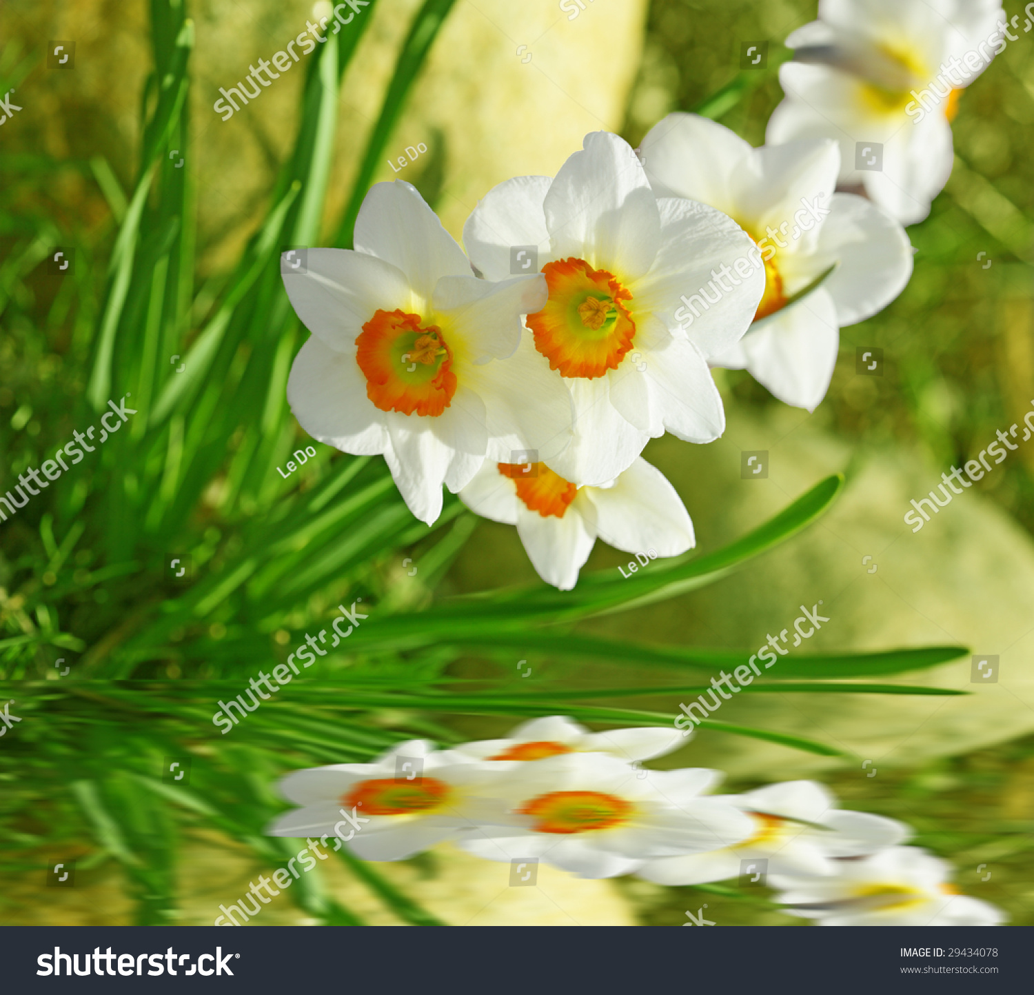 white daffodil flowers reflection on water stock photo 29434078