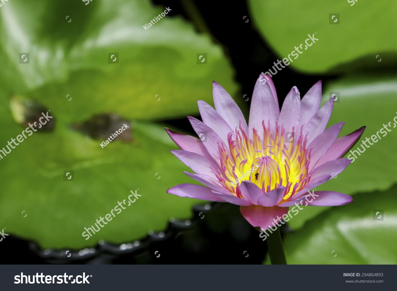 Thai lotus in natural public park thailand ez canvas id 294864893 izmirmasajfo