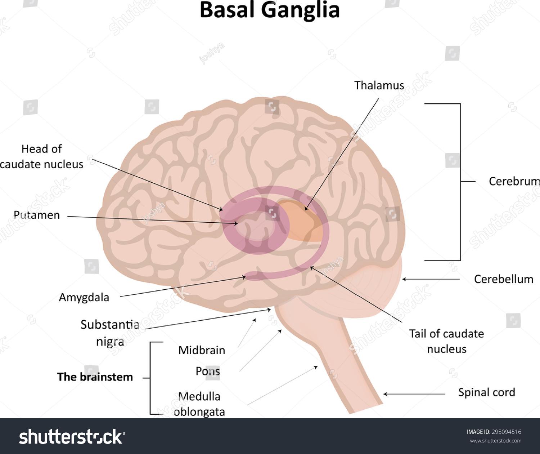 Basal Ganglia Stock Vector 295094516 - Shutterstock