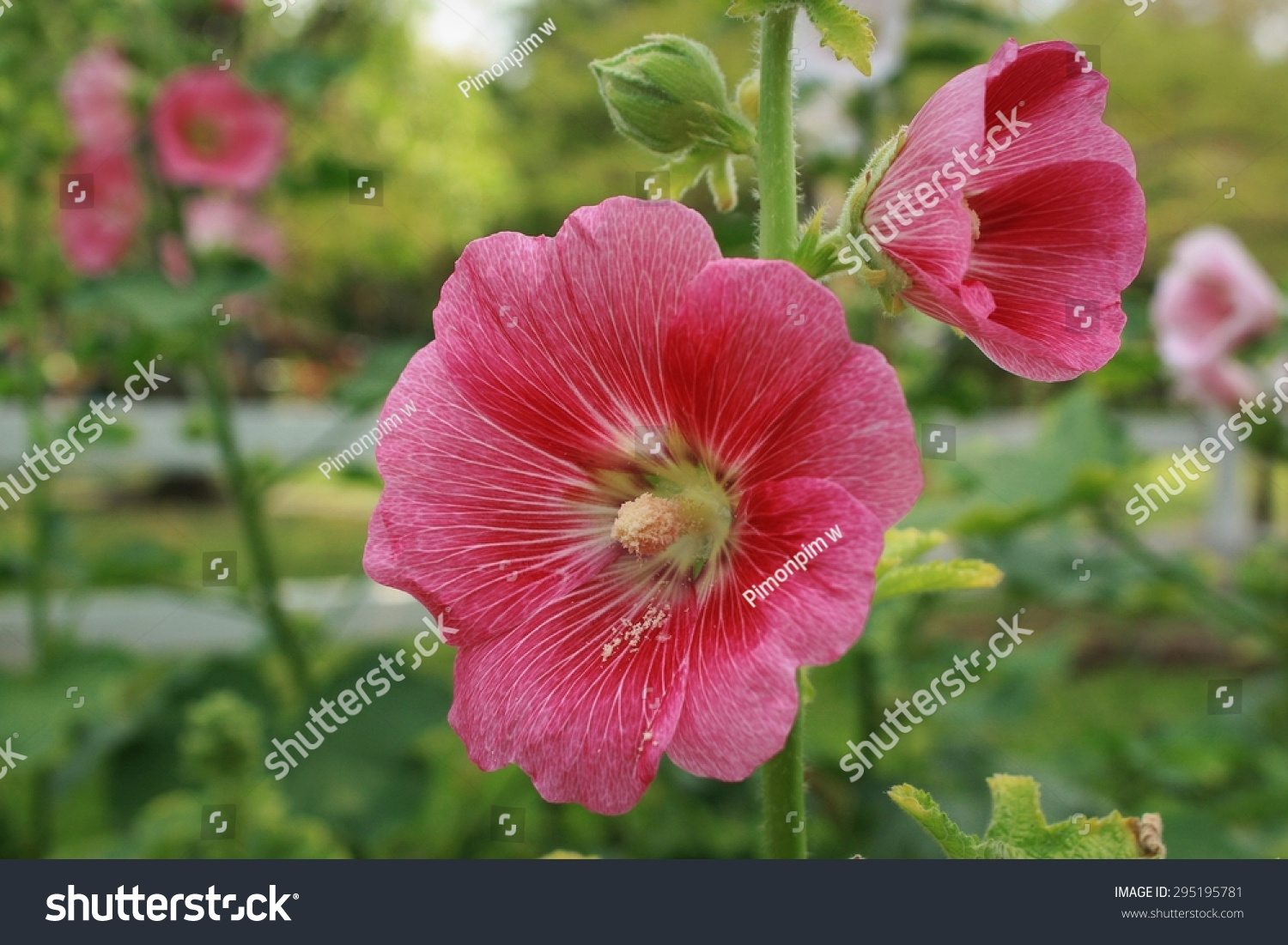 Orchidpinkcolor Rose Sharon Flower Blooms Garden Stock Photo ...