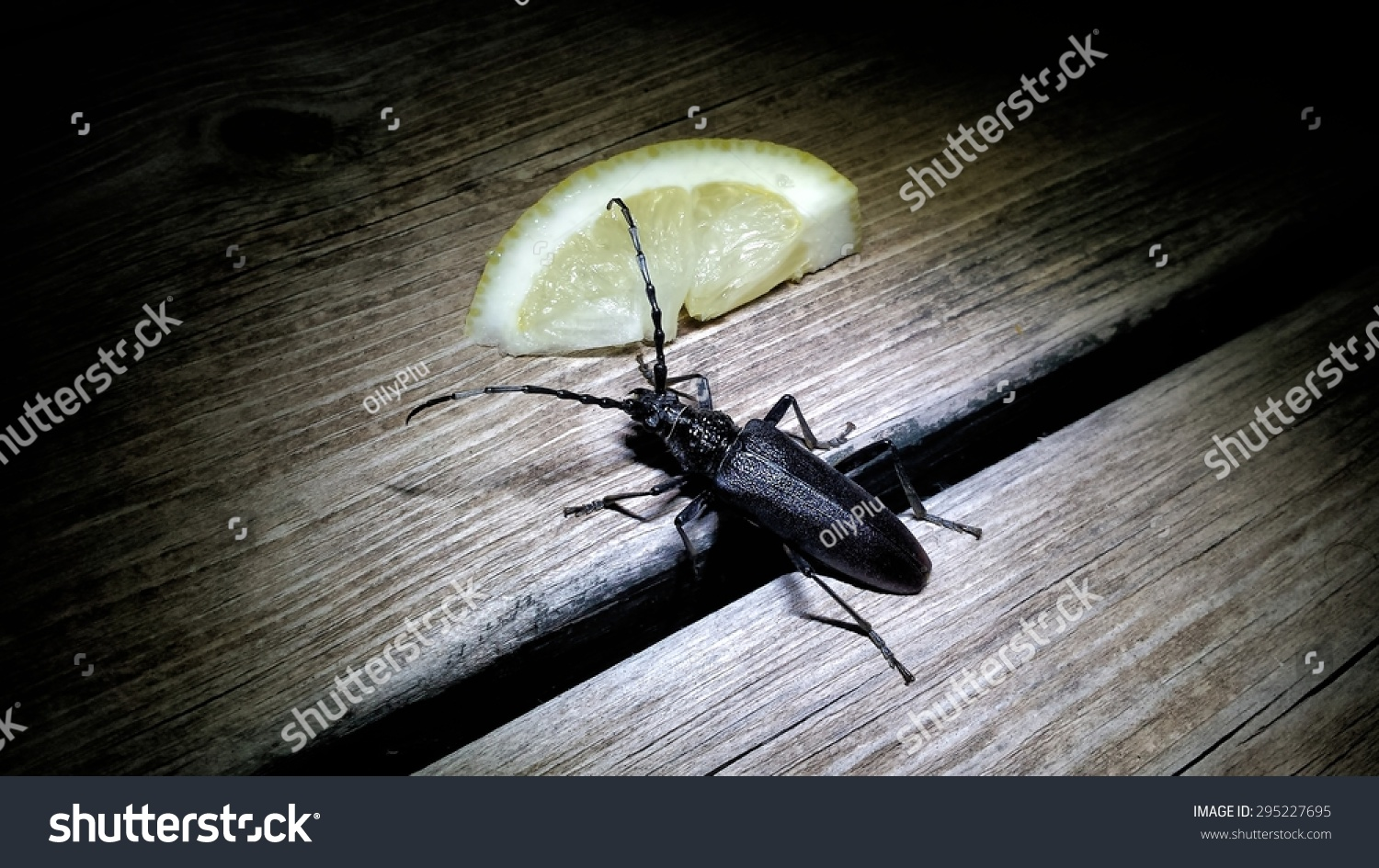 male great capricorn beetle cerambyx cerdo a cerambycidae longhorn beetle spotted at night. Black Bedroom Furniture Sets. Home Design Ideas