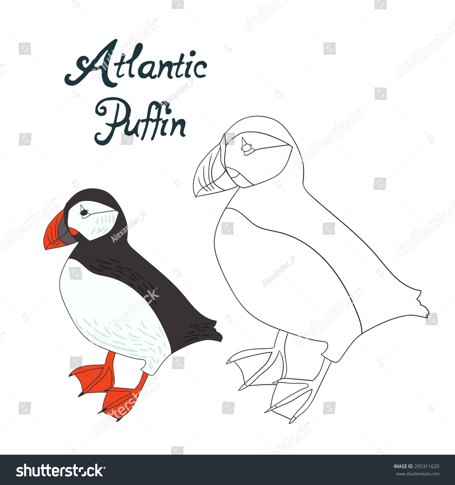 Educational Game Coloring Book Atlantic Puffin Bird Vector Illustration