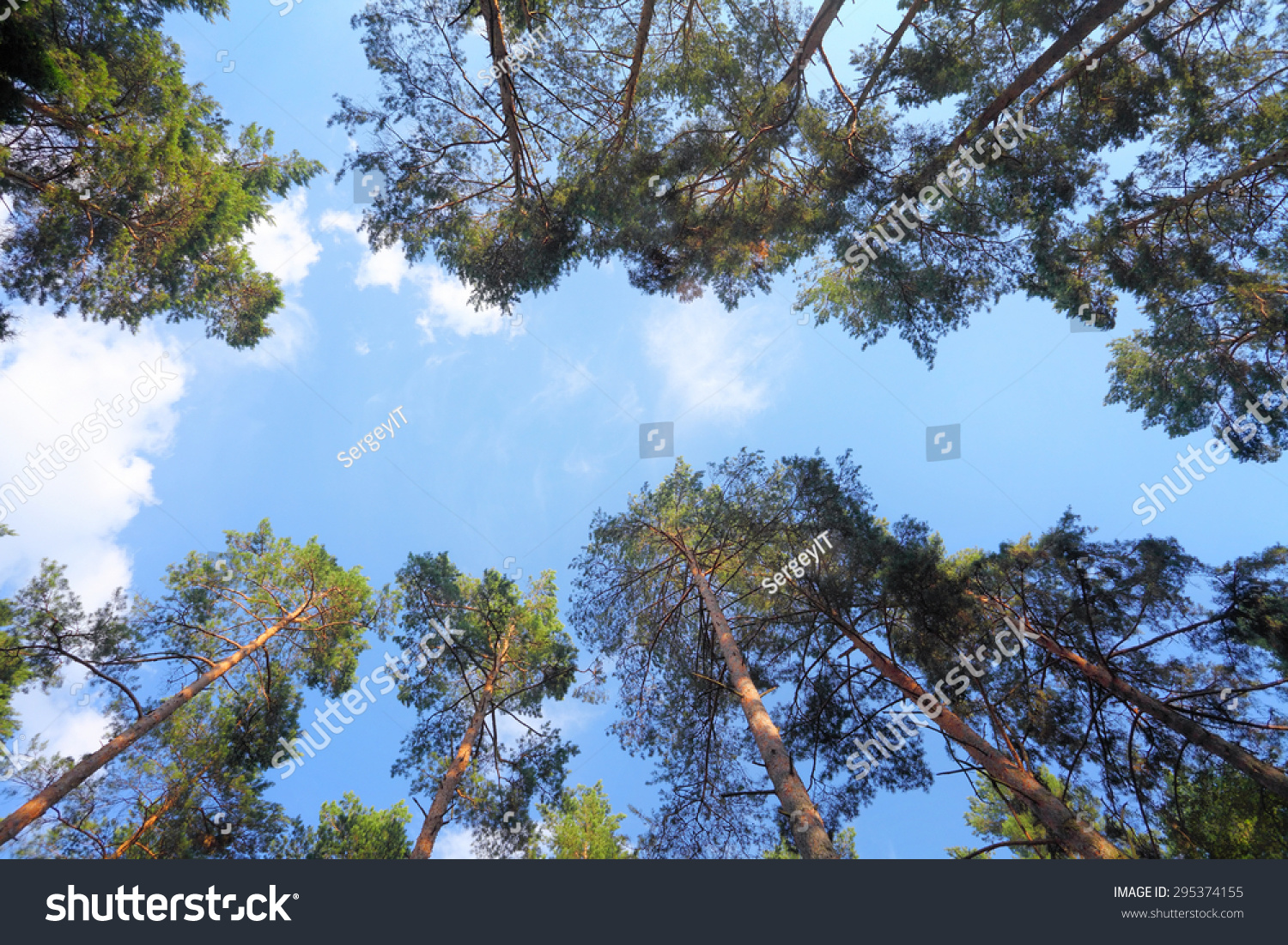 Canopy pine trees blue sky between stock photo 295374155 for Canopy of trees