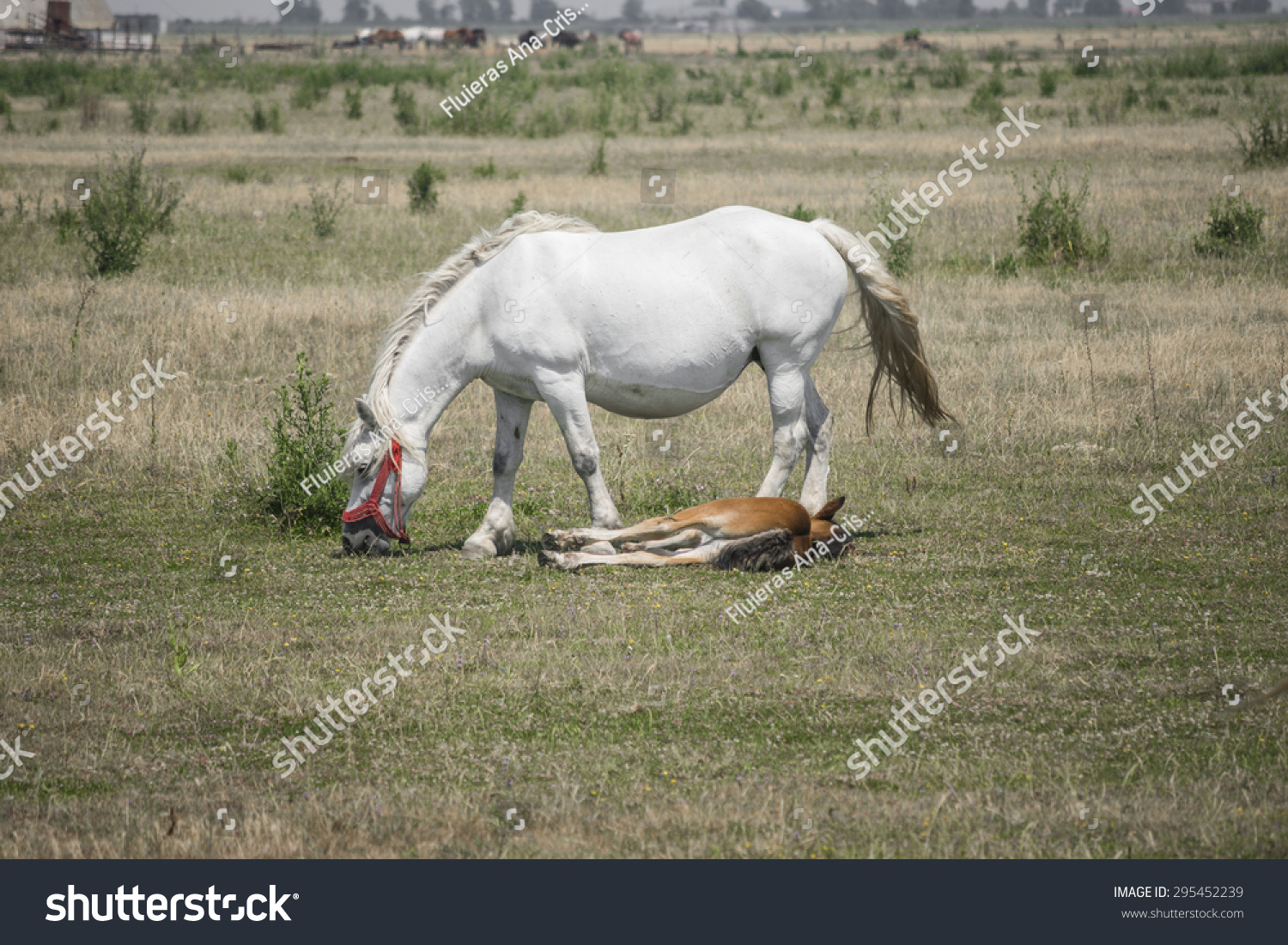 White Fat Horse Baby Horse On Stock Photo Edit Now 295452239