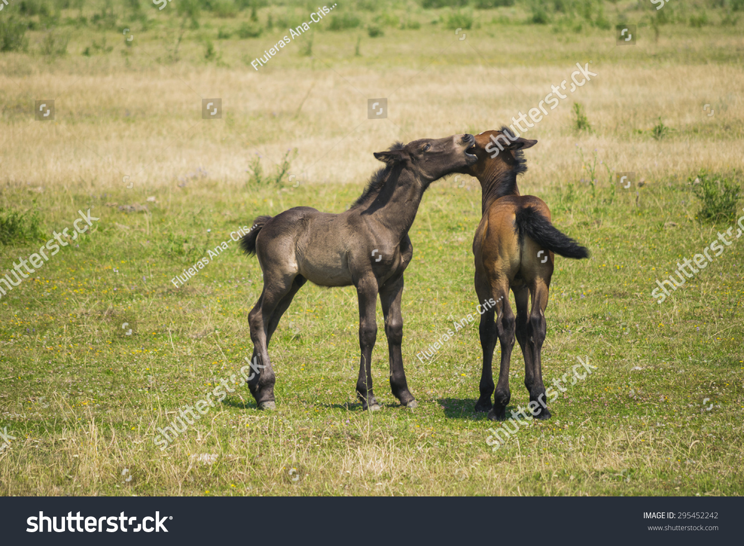 Two Cute Baby Horses On Field Stock Photo Edit Now 295452242