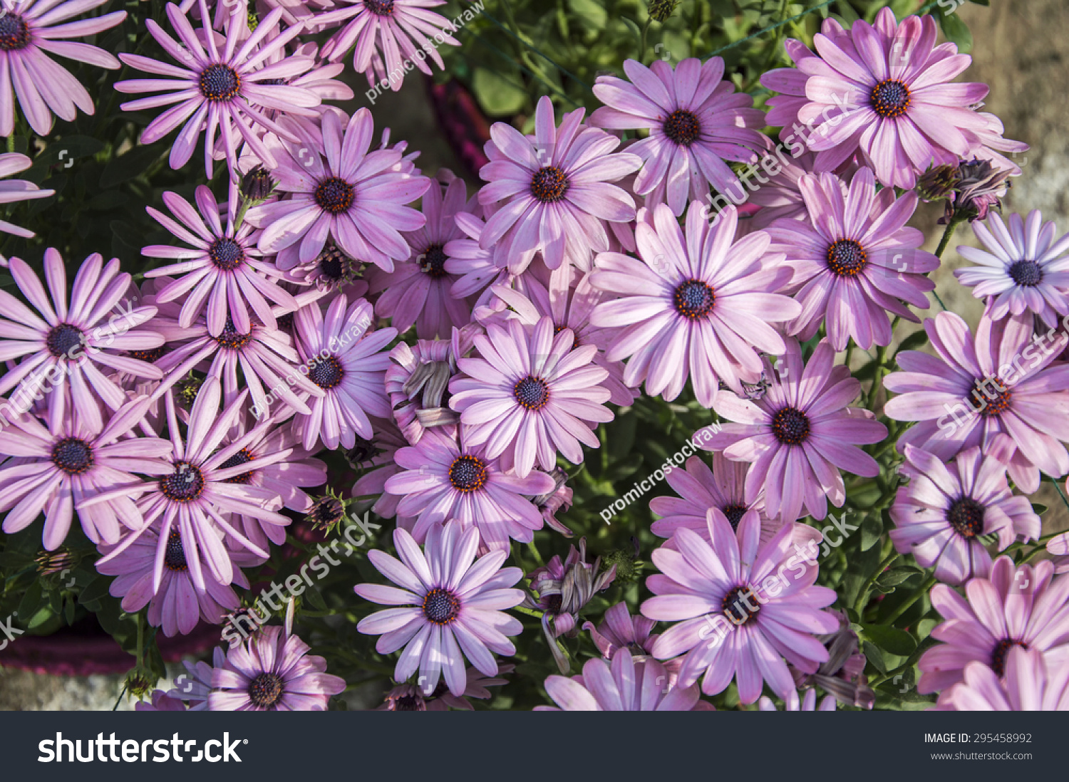 Purple daisy flowers on wild grassland stock photo edit now purple daisy flowers on the wild and grassland izmirmasajfo