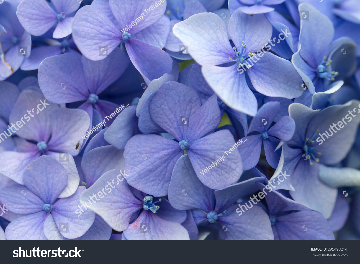 Blue hydrangea flower petals in a garden closeup ez canvas izmirmasajfo
