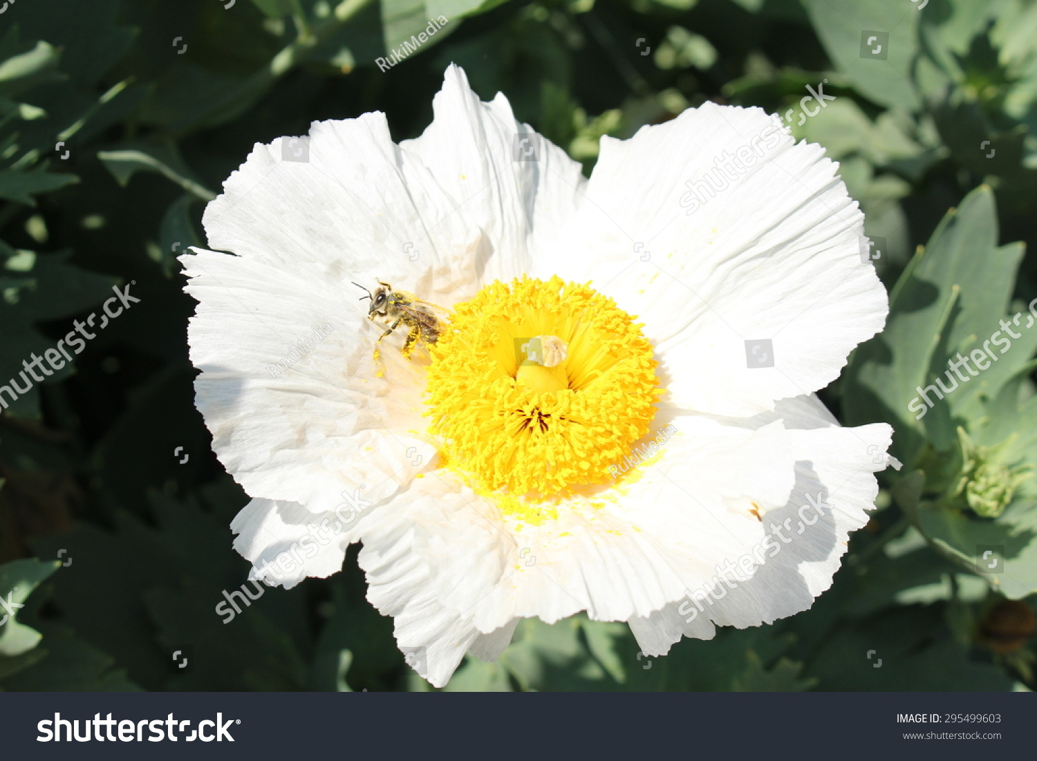 Yellow And White Californian Tree Poppy Or Coulters Matilija