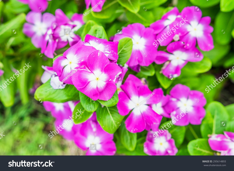 Watercressvinca Flower Bush Pink White Bloom Stock Photo Royalty