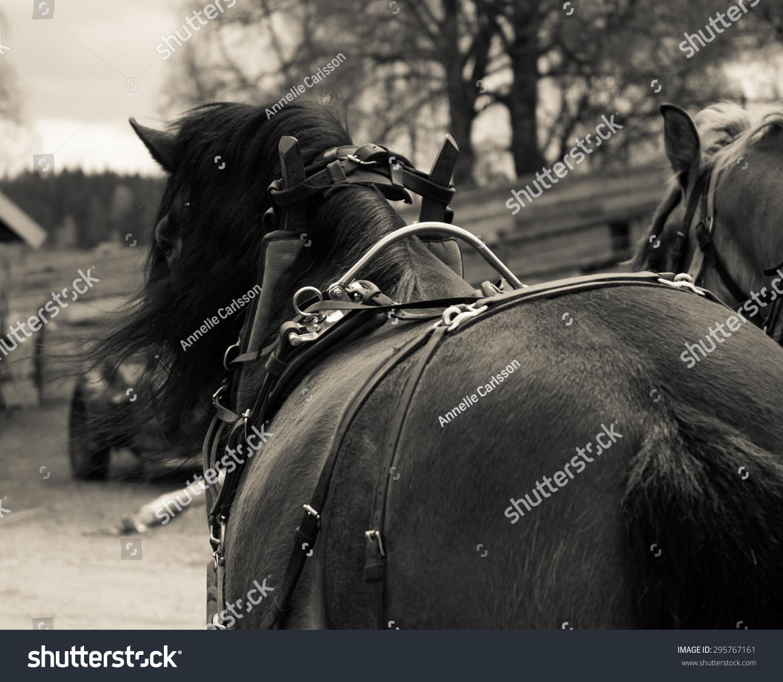 North Swedish Draft Horses Work Stock Photo Edit Now 295767161