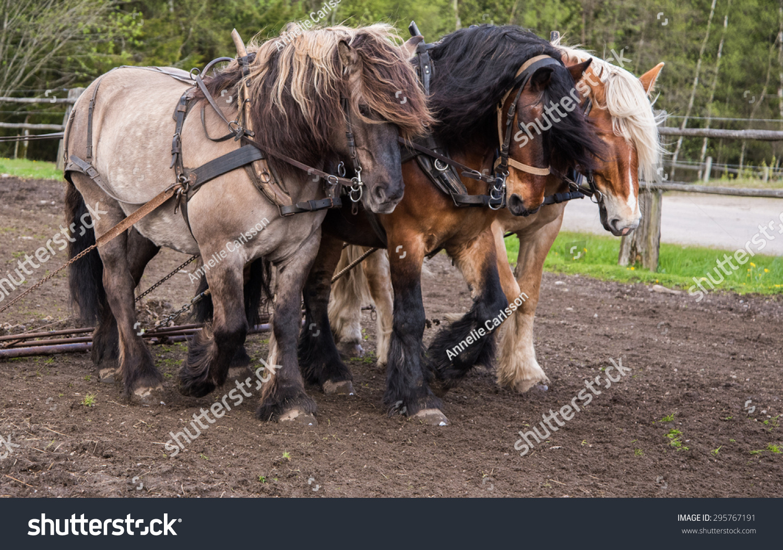 North Swedish Draft Horses Work Stock Photo Edit Now 295767191