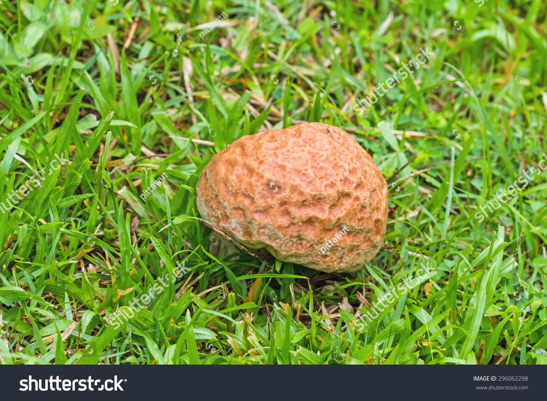 brown toxic mushrooms poisonous mushroom mushroom stock