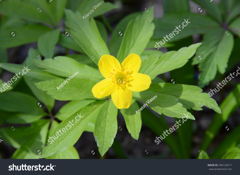 Royalty Free Five Petal Yellow Buttercup Top View 296126417