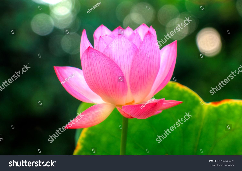 Miniature Exotic Lotus Flower Bokeh Background Stock Photo Edit Now