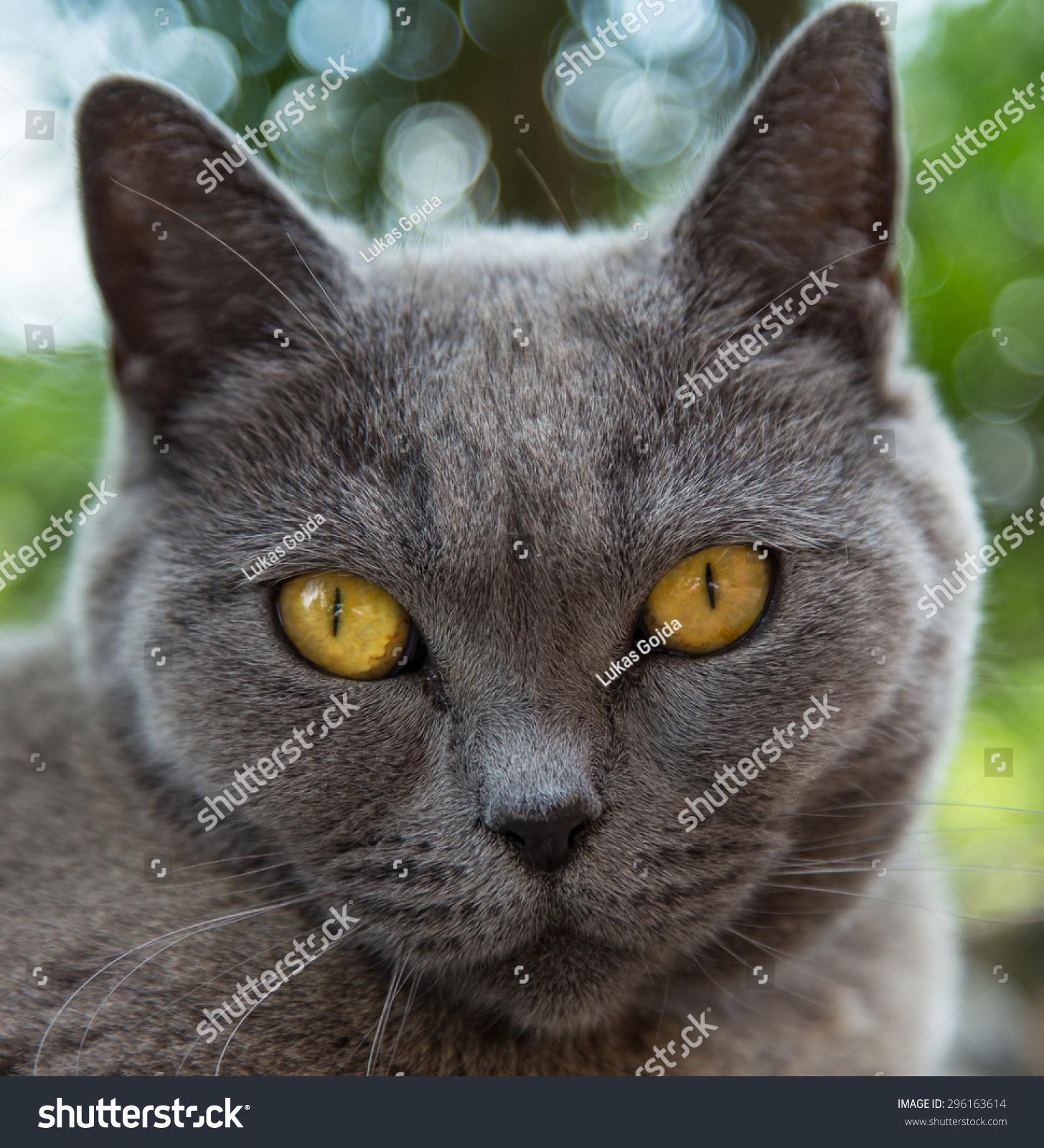 Portrait British Blue Cat Closeup Stock Shutterstock