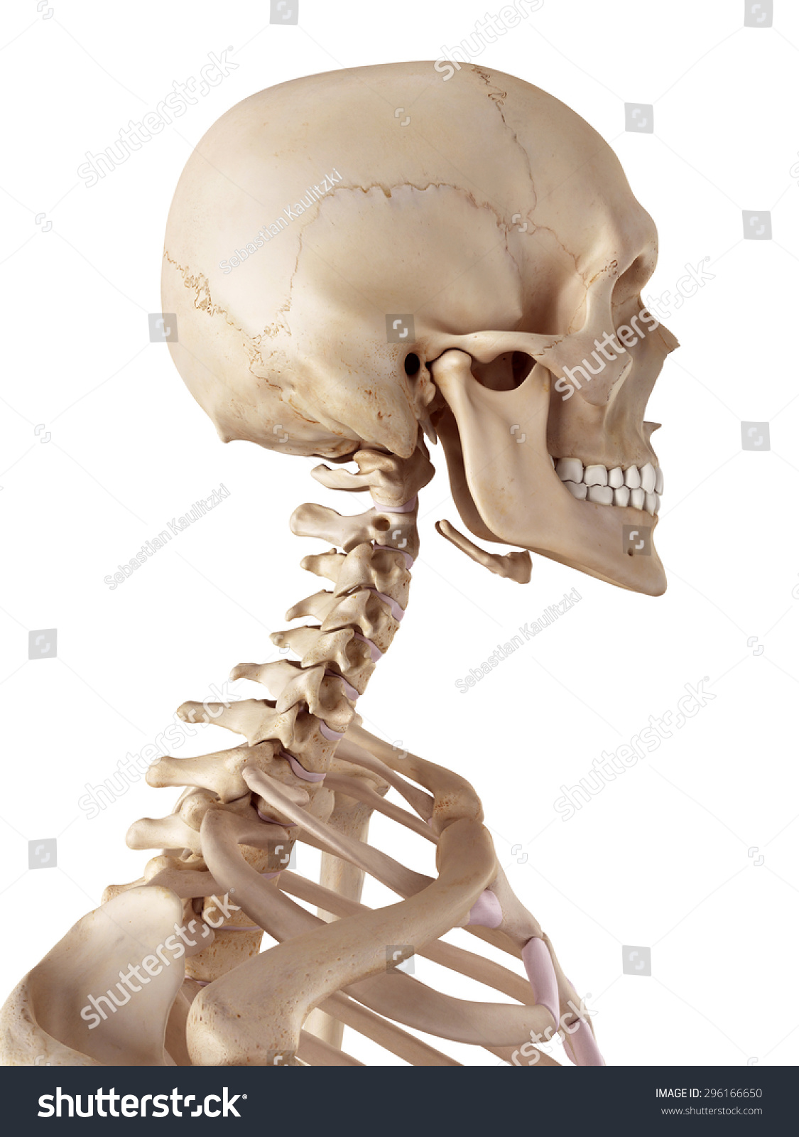 Medical Accurate Illustration Human Skull Neck Stock Illustration ...
