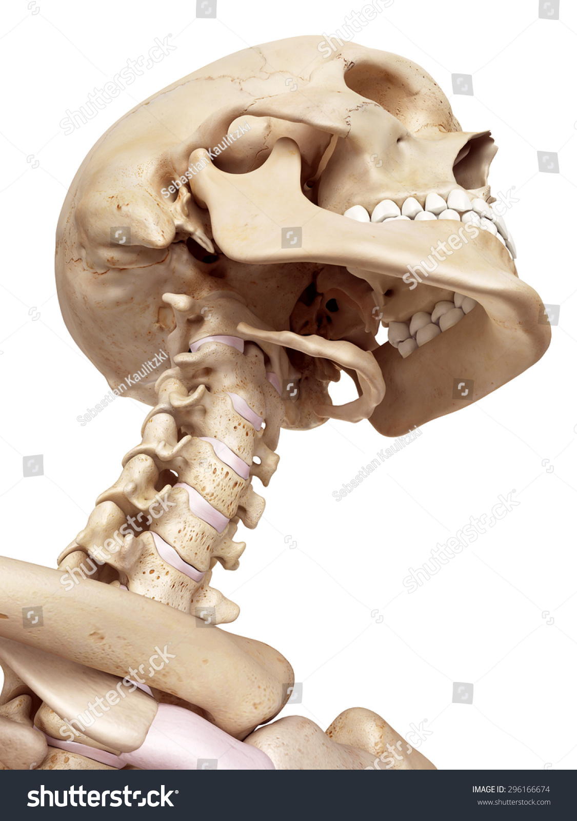 medical accurate illustration of the human skull and neck